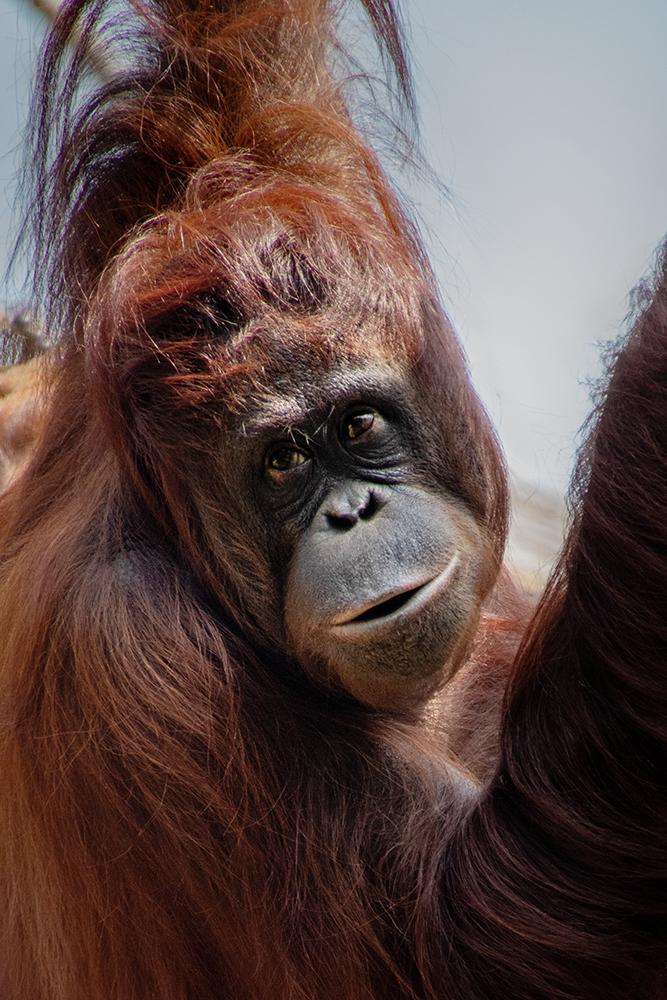Oerang oetang - Orangutan (Apenheul)