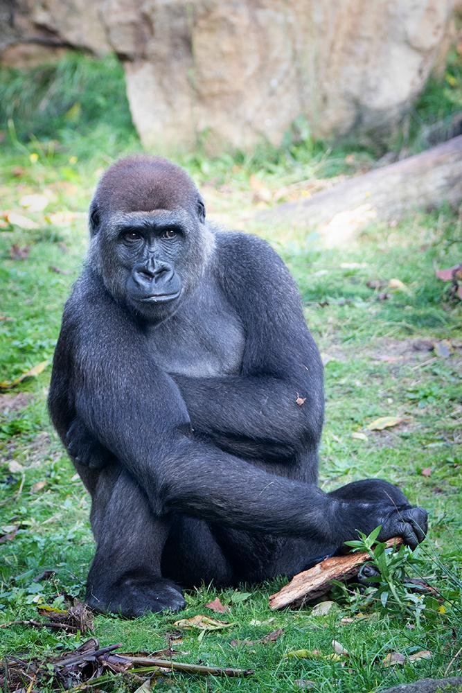 Gorilla (Apenheul)