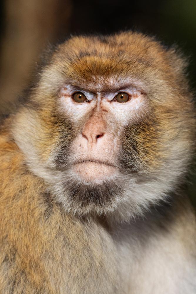 Berberaap - Barbary macaque (Naturzoo Rheine)