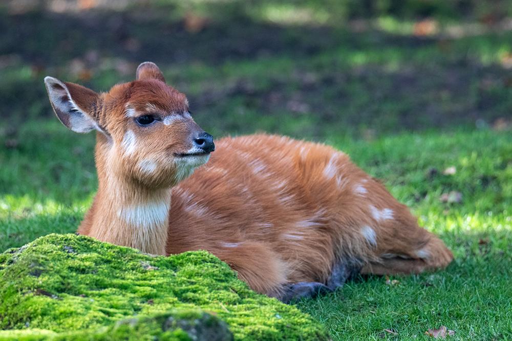 Sitatunga kalf - Sitatunga calf (Naturzoo Rheine)