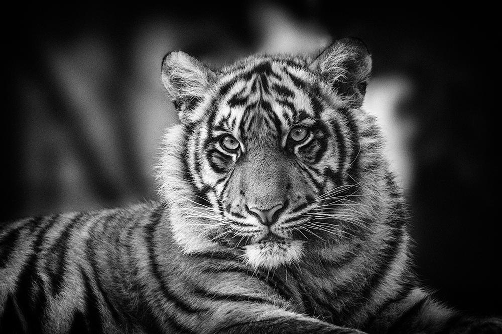 Sumatraanse tijger - Sumatran tiger (Naturzoo Rheine 2019)