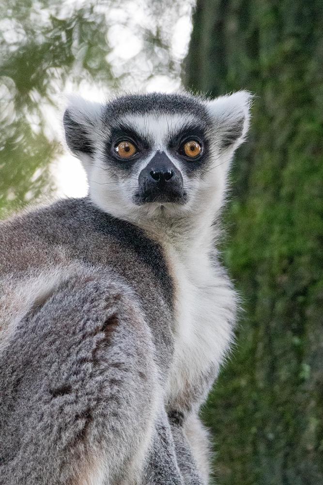 Ringstaartmaki - Ring-tailed lemur (Dierenpark Amersfoort)
