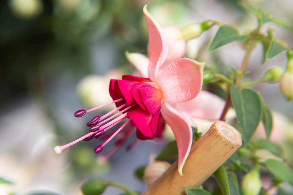 Fuchsia 2015