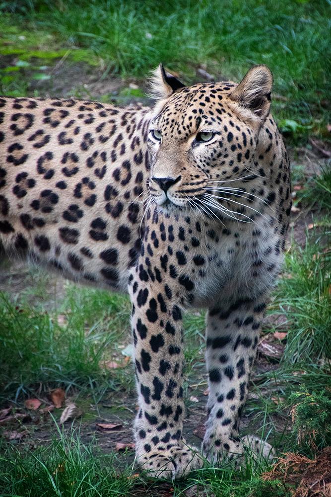 Perzische panter - Persian Leopard (Allwetter zoo 2018)
