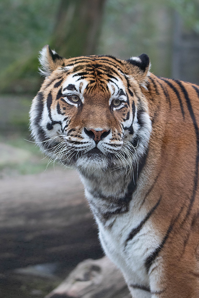 Siberische tijger - Siberian Tiger (Allwetter zoo 2020)