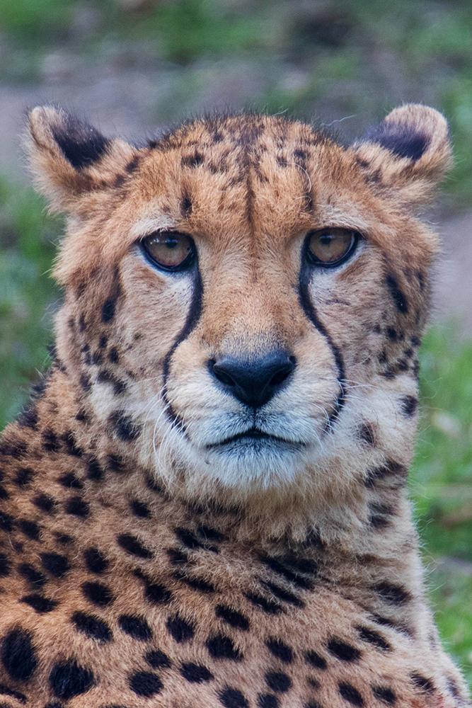 Jachtluipaard - Cheetah (Allwetterzoo 2020)