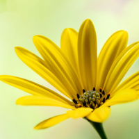 Spaanse margriet - Cape marguerite - African daisy