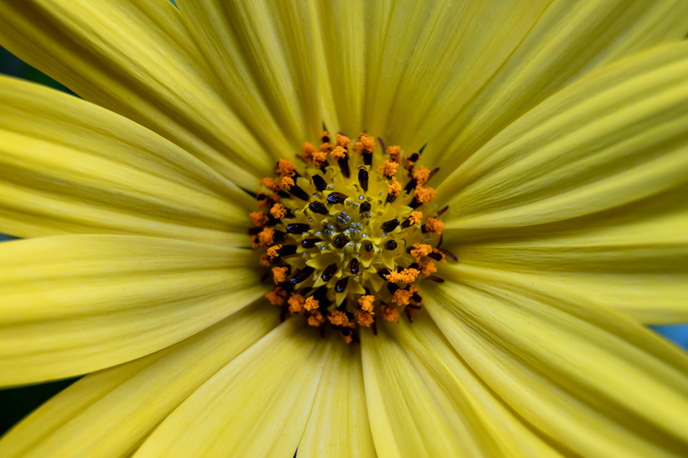 Spaanse margriet - Cape marguerite - African daisy
