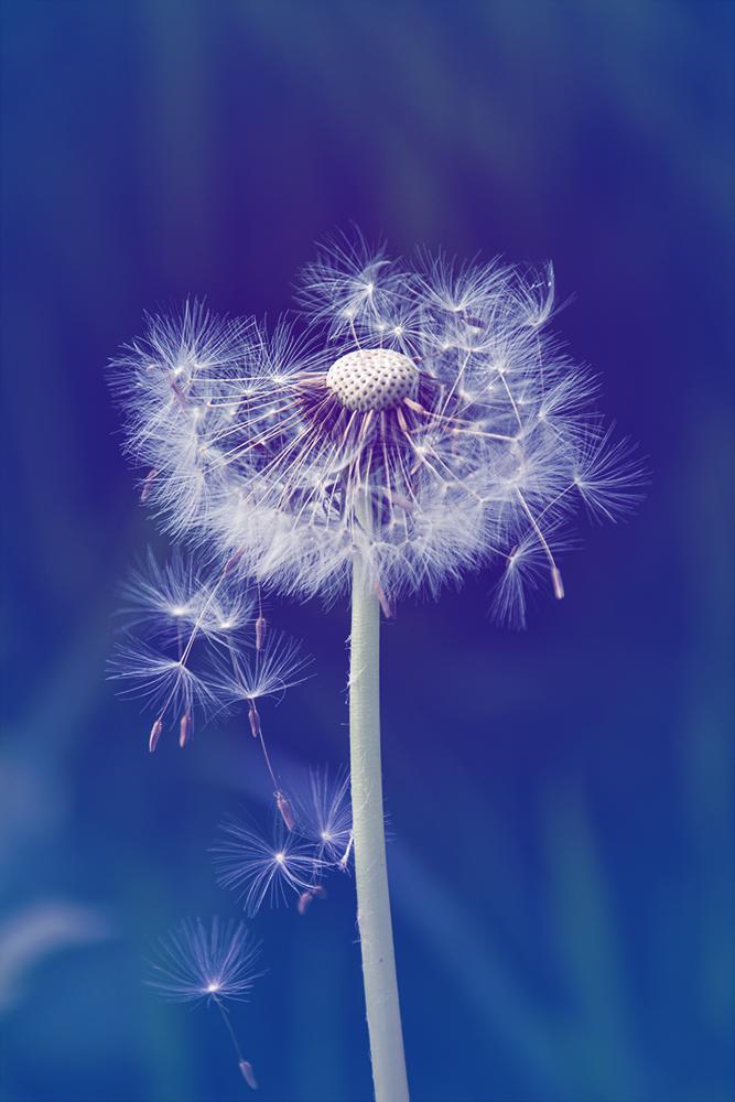 Paardenbloem - Dandelion (Natuur, Nature 2020)