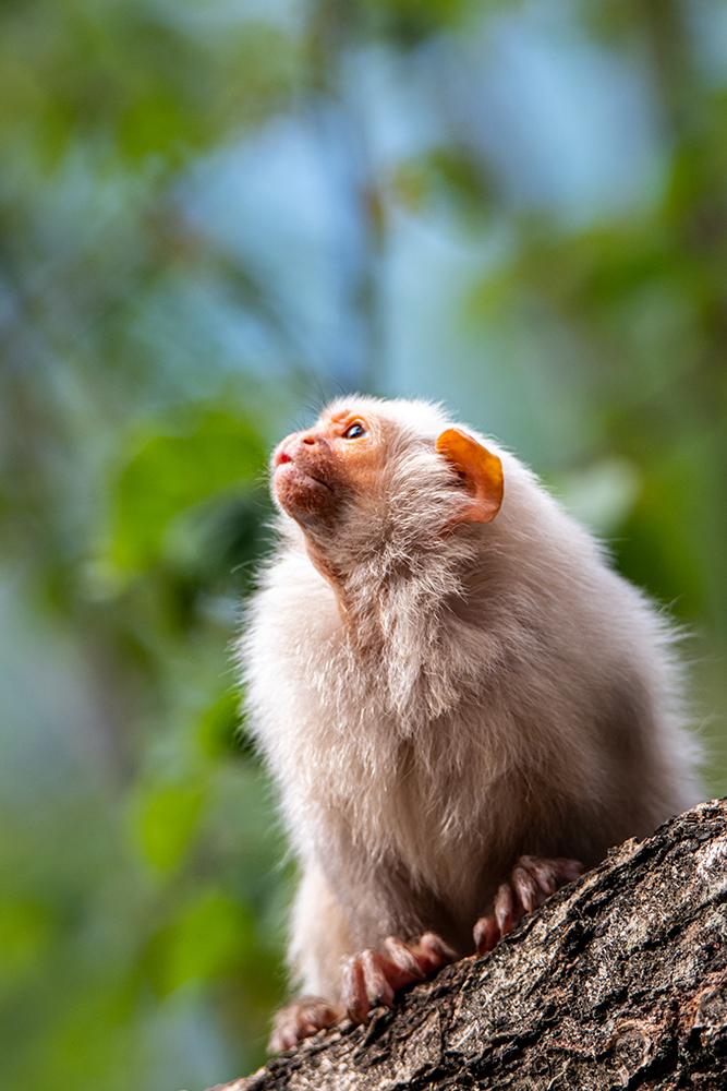Zilver-oeistiti - Silvery marmoset