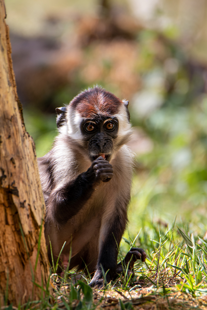 Roodkruinmangabey - Collared mangabey
