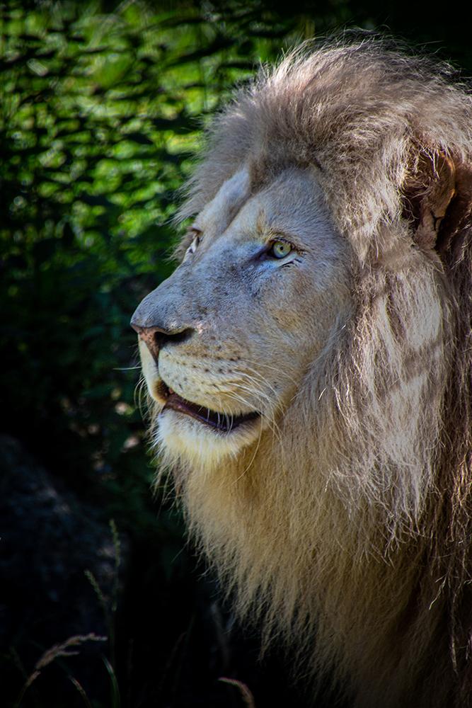 Witte leeuw - White lion (Ouwehands dierenpark 2016)