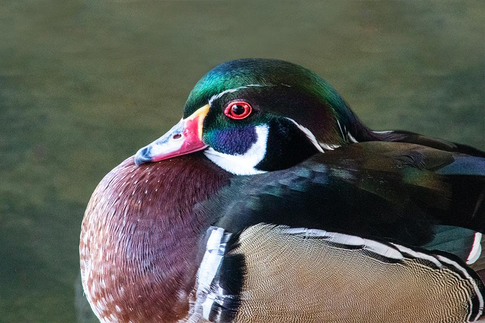 Carolina-eend - Wood duck