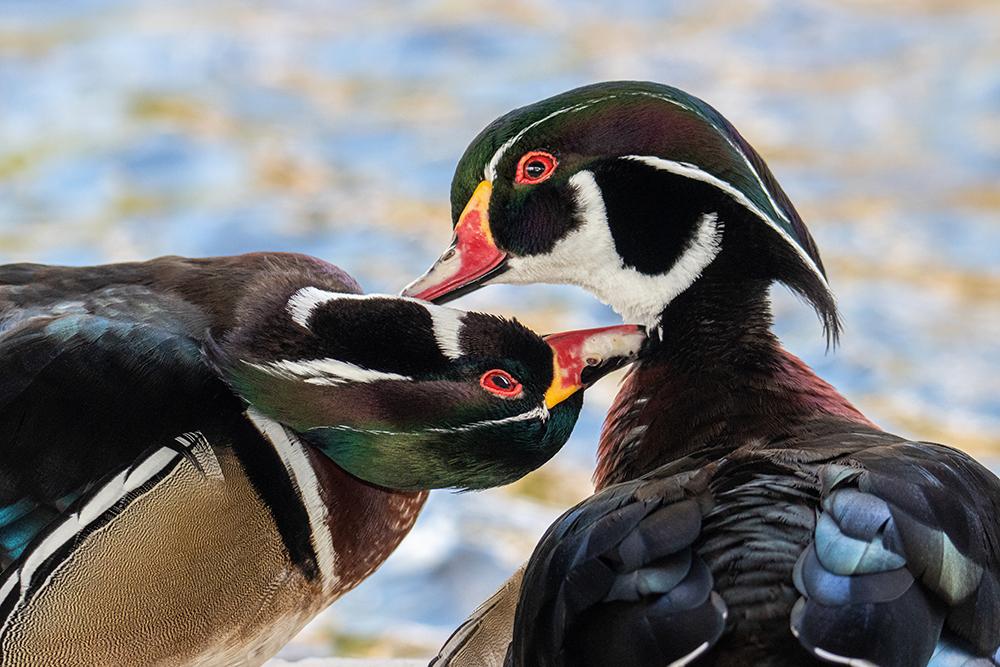 Carolina-eenden - Wood ducks