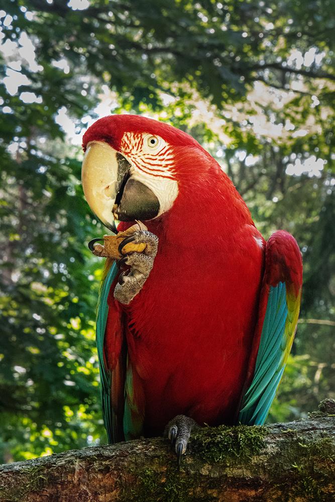 Ara - Scarlet macaw (Apenheul 2018)