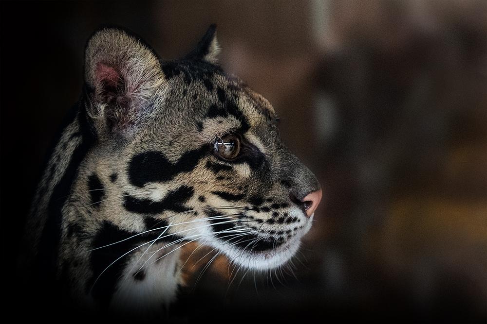 Ocelot (Ouwehands dierenpark 2016)