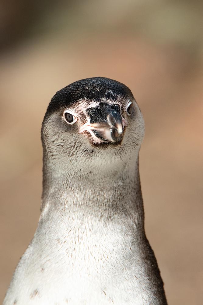 Humboldt pinguin - Humboldt penguin (Naturzoo Rheine 2019)