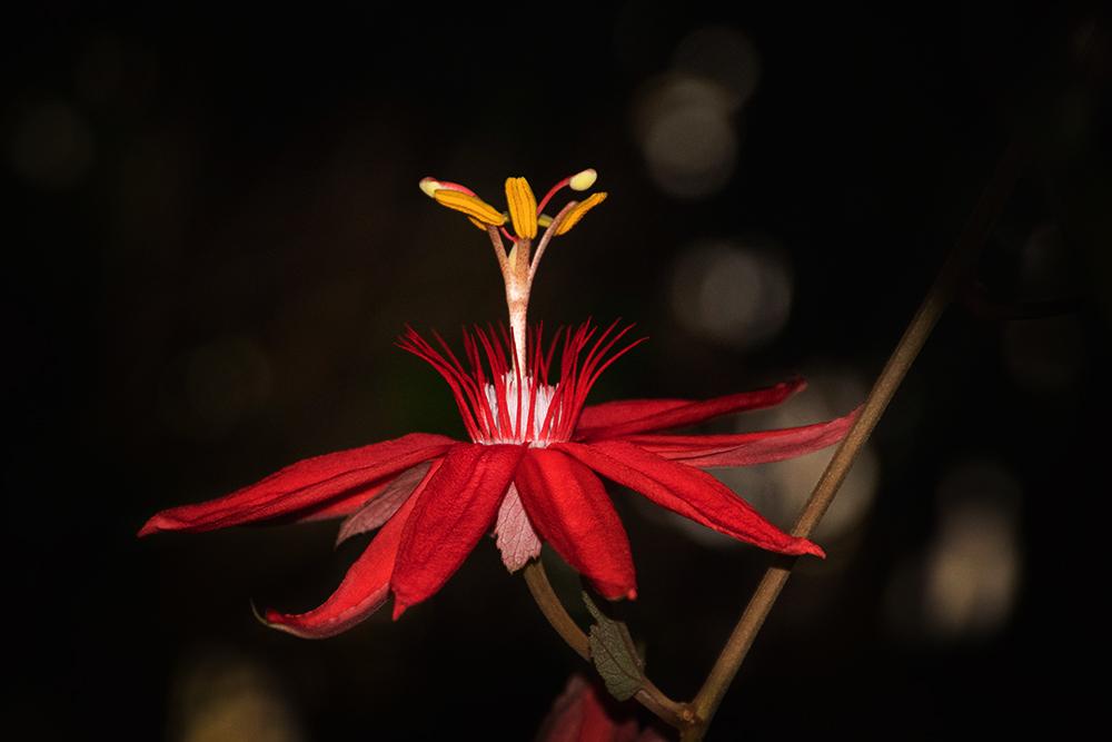 Passiebloem - Passion flower