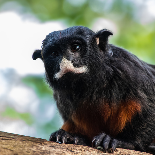 The white-lipped tamarin