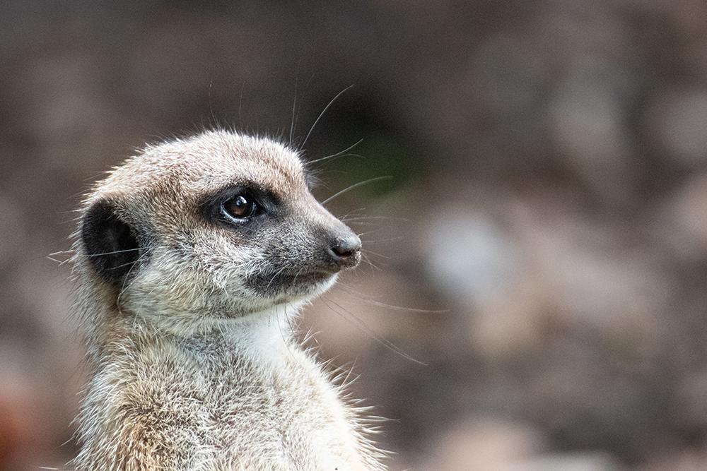 Stokstaartje - Meerkat