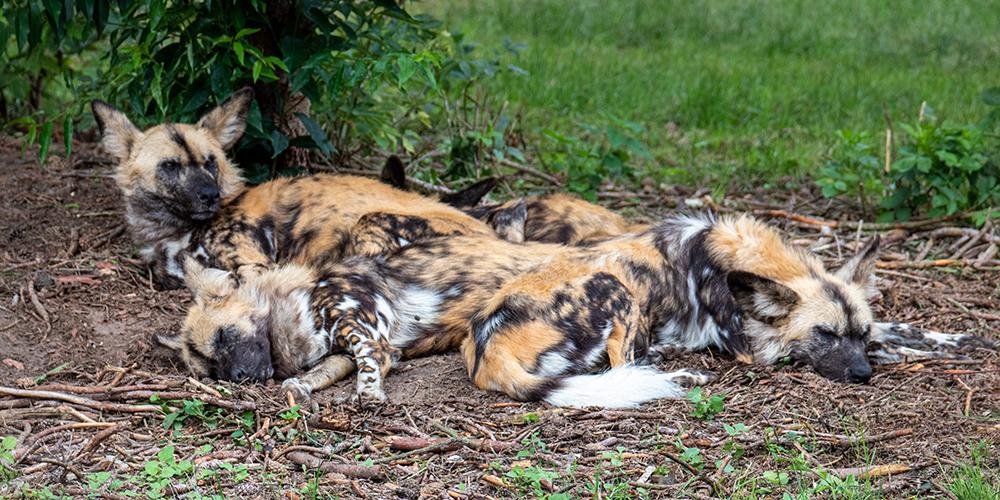 Afrikaanse wilde honden - African wild dog