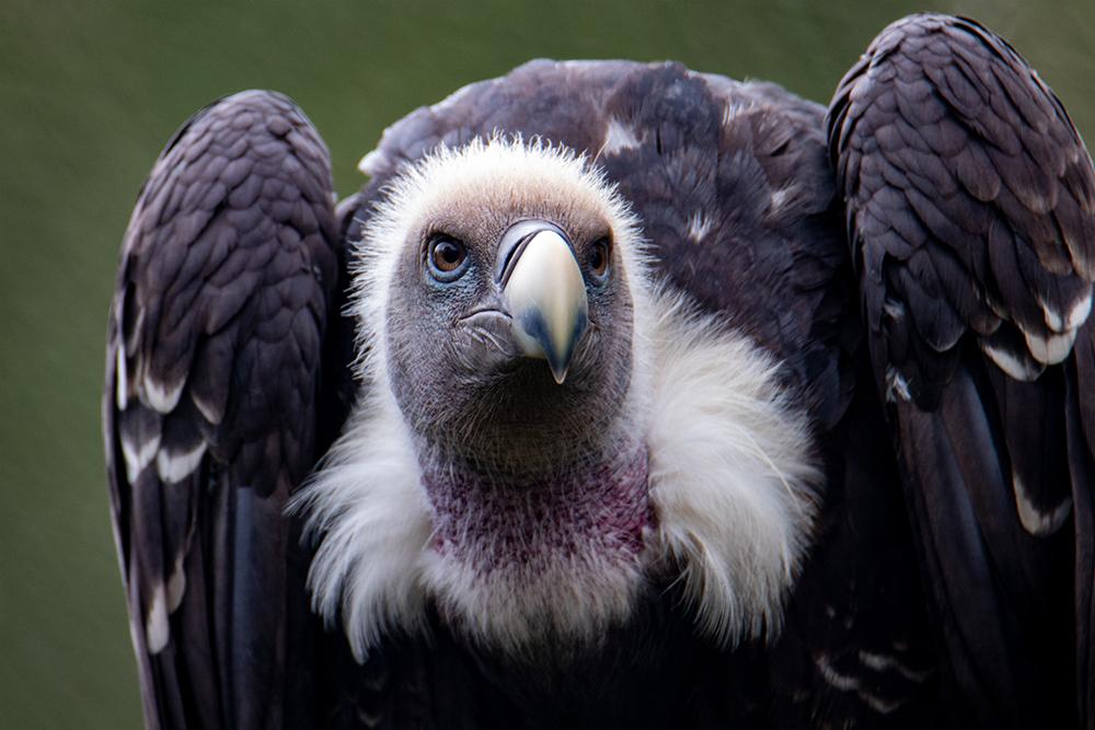 Rüppell's Gier - Rüppell's vulture