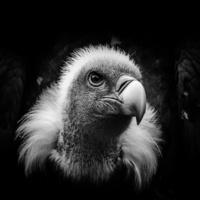 Rüppell's gier - Rüppell's vulture (Beekse Bergen)