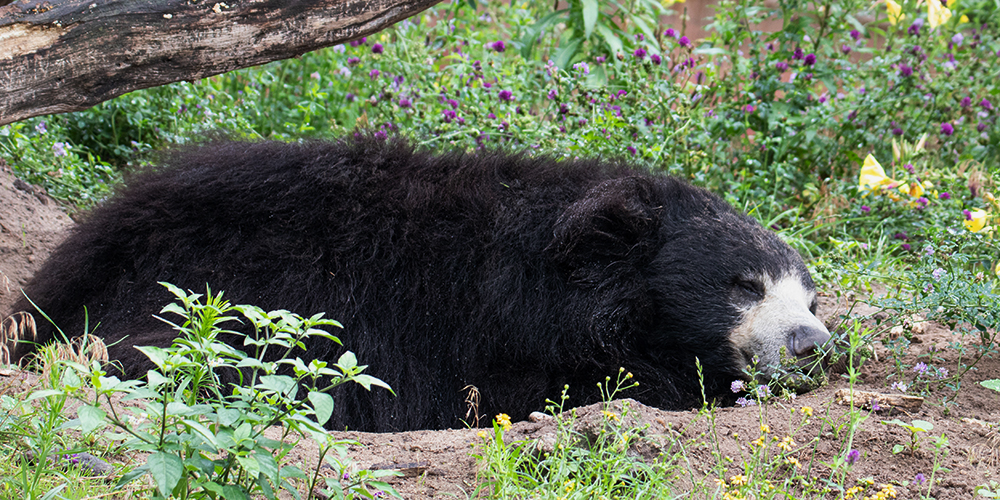Lippenbeer - Sloth bear