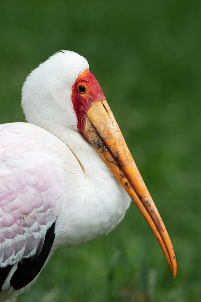 Nimmerzat - Yellow-billed stork