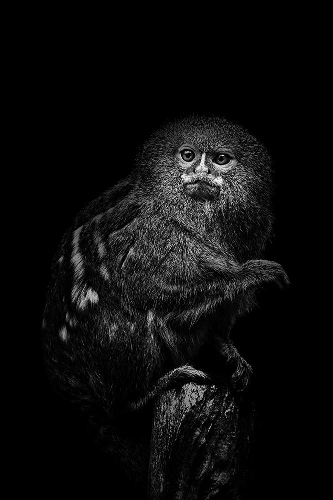 Dwergzijdeaapje - Pygmy marmoset (Allwetterzoo)