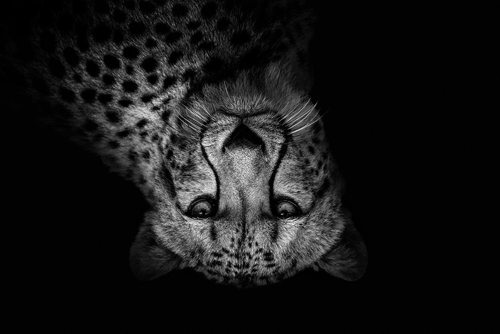 Jachtluipaard - Cheetah (Allwetterzoo)