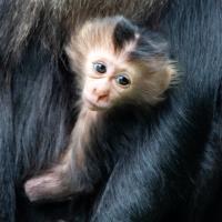 Leeuwenstaartmakaak - Lion-tailed macaque