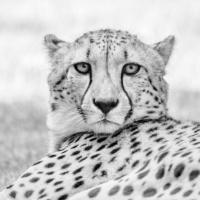 Jachtluipaard - Cheetah