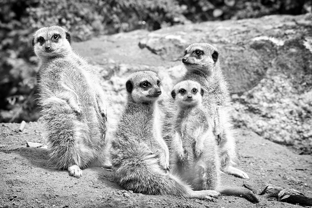 Stokstaartjes - Meerkats