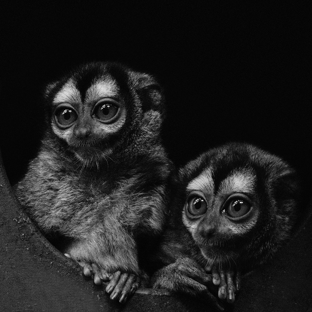 Doeroecoelis - Three-striped-night monkeys