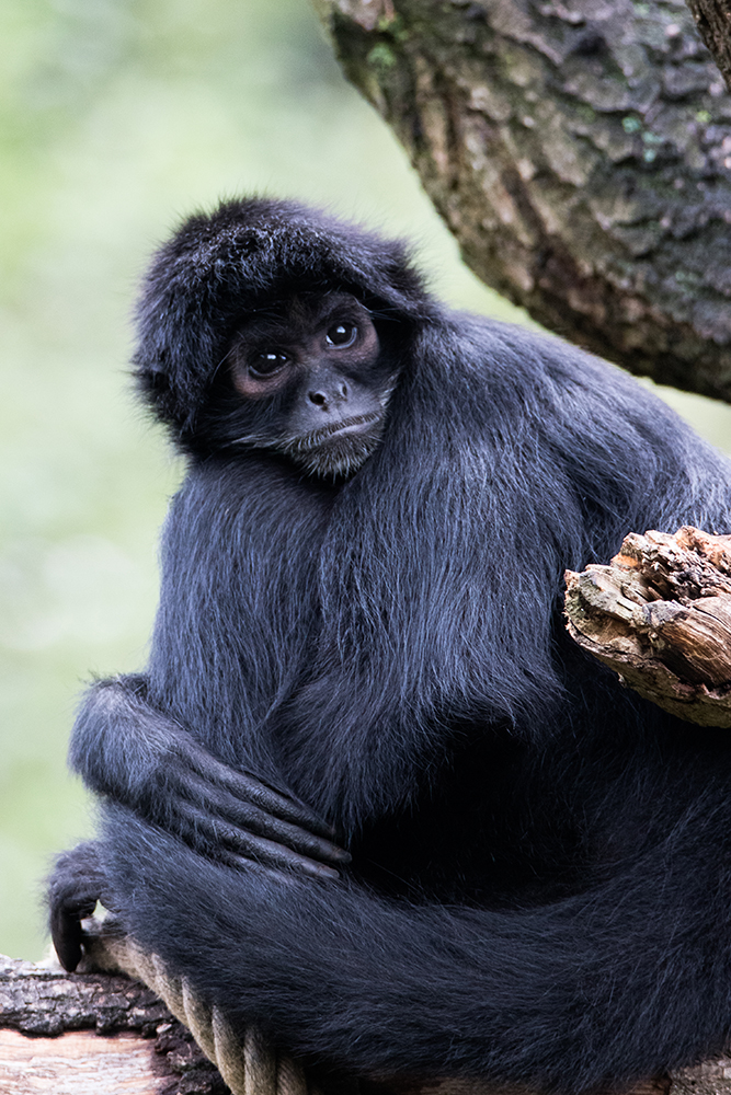 Slingeraap - Spider monkeys