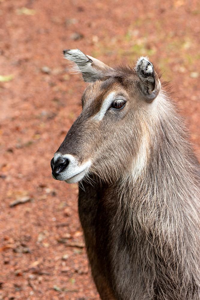 Waterbok - Waterbuck