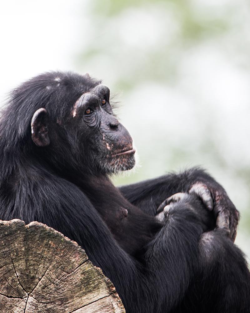 Chimpansee - Chinpanzee