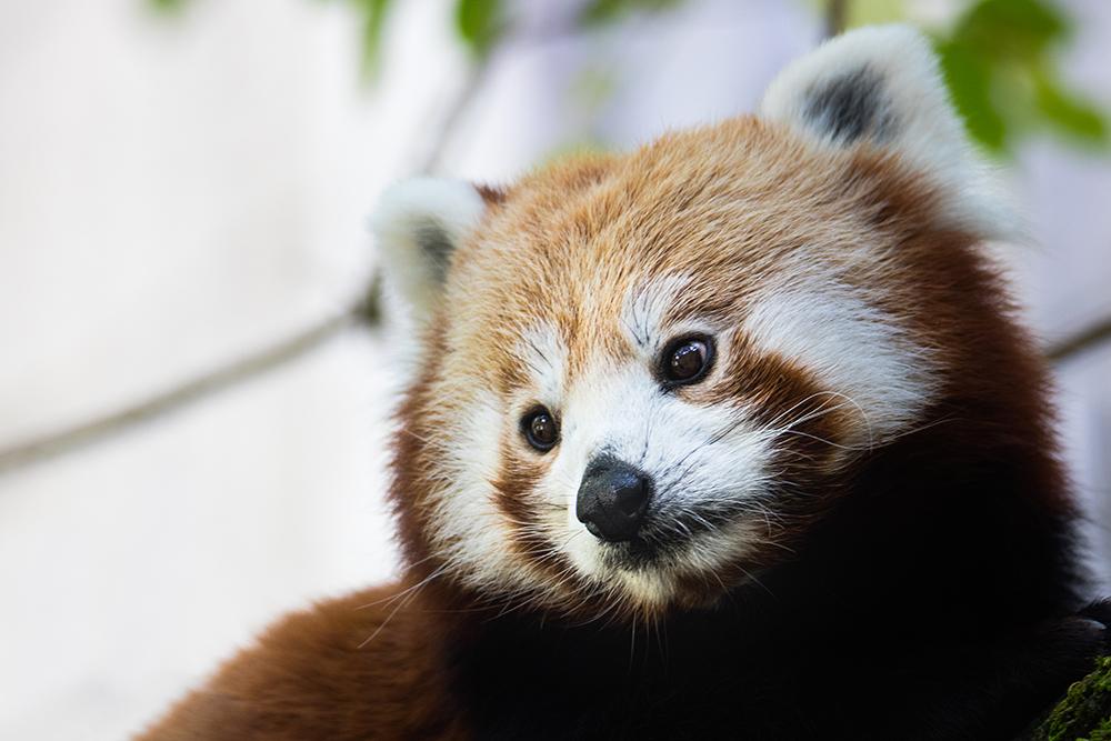 Rode panda - Red panda
