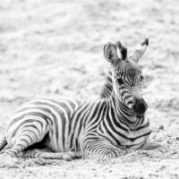 Grant zebra veulen - Grant's zebra foal (Safaripark Beekse bergen)
