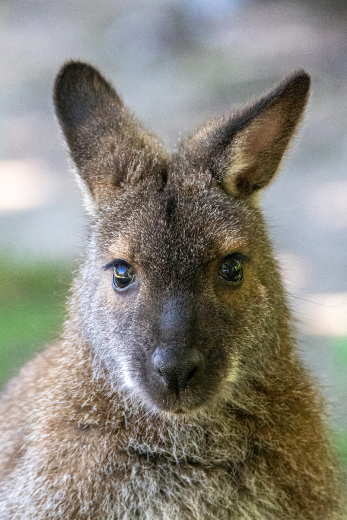 Bennett wallabie - Red-necked wallaby