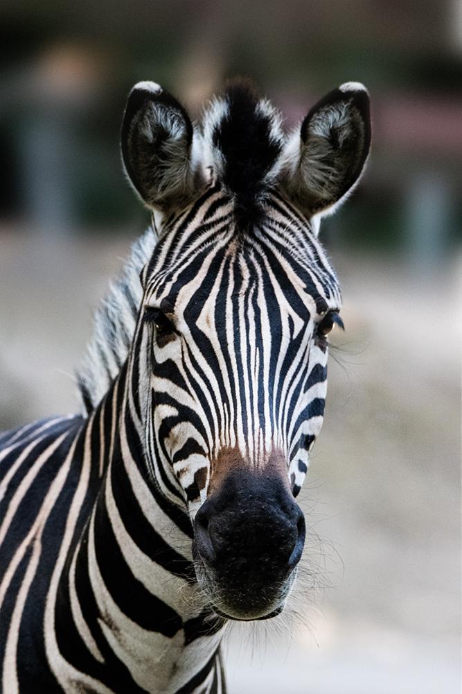 Chapman-zebra - Chapman´s zebra