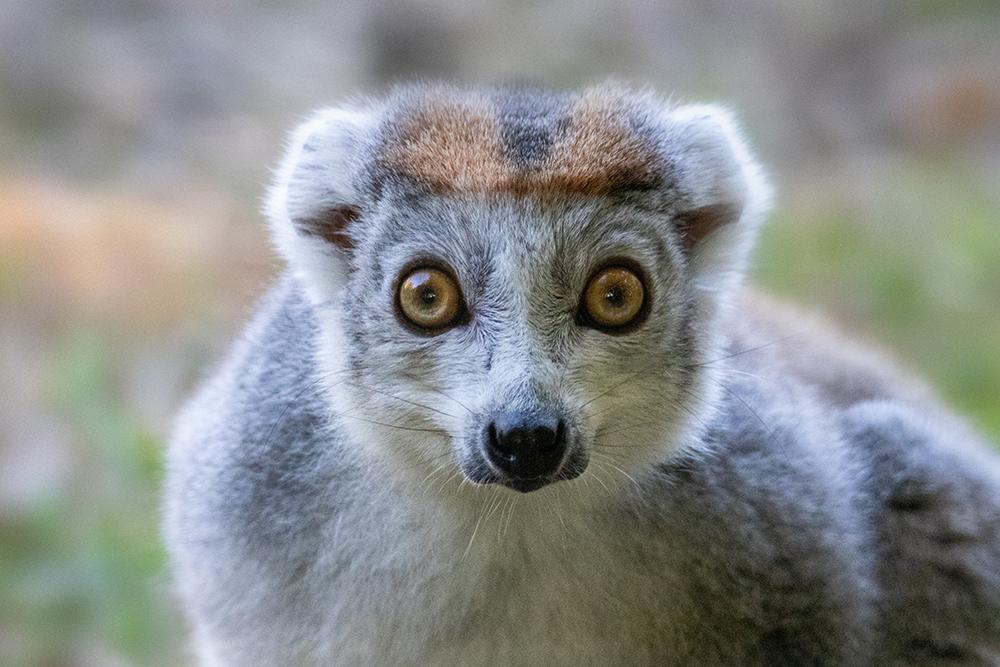 Kroonmaki - Crowned lemur
