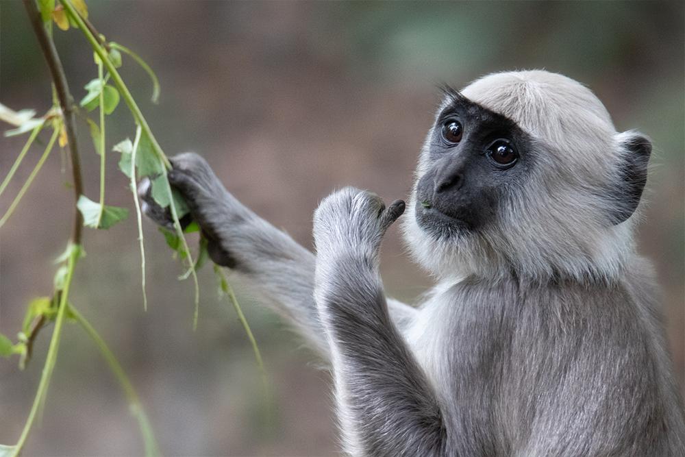 Hanuman langoer - Gray langur