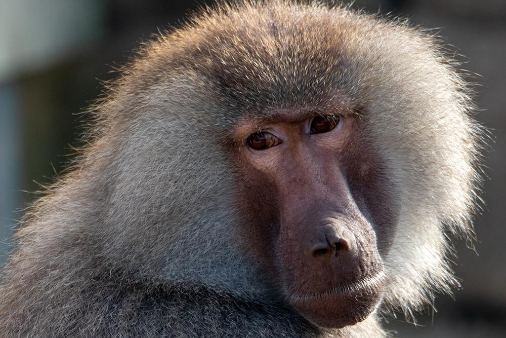 Mantelbaviaan - Hamadryas baboon