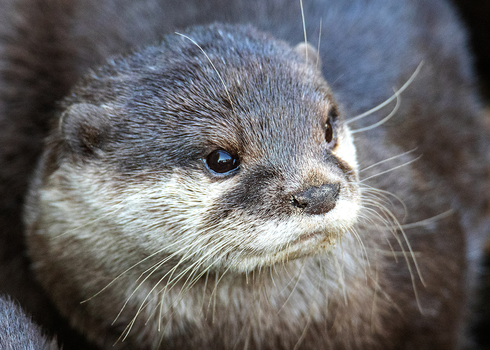 Kleinklauwotter - Asian small-clawed otter