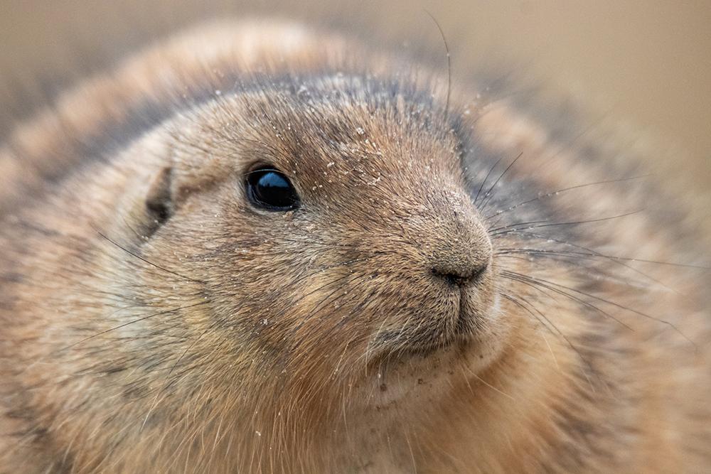 Prairiehond - Prairie dog