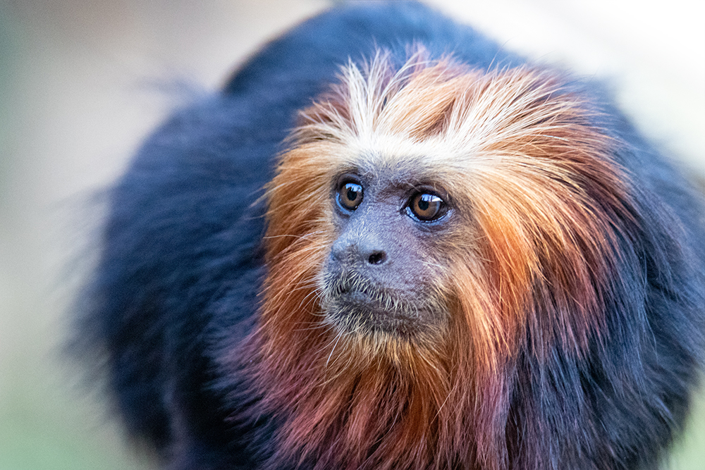 Goudkopleeuwaap - Golden-headed lion tamarin