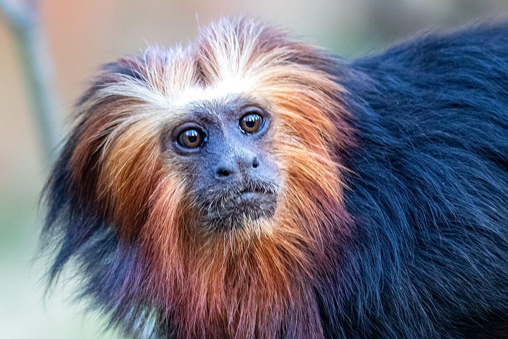 Goudkopleeuwaap - Golden-headed lion tamarin (Apenheul)