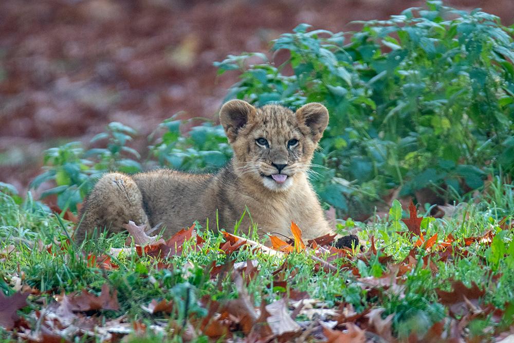 Leeuwen welp - Lion cub